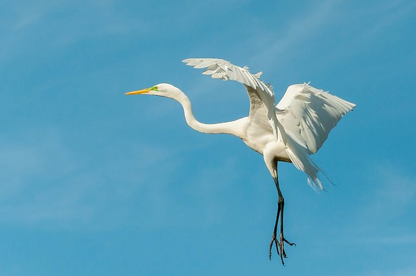 Great Egret coming in for a landing