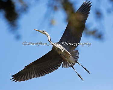 Great Blue Heron in flight, overhead.