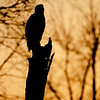 An Eagle Silhouette