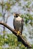 Peregrine Falcon<br /> Cabin John, Montgomery County, Maryland