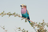 Lilac Breasted Roller, Etosha National Park, Namibia