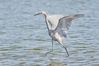 Reddish Egret (White Morph) Fishing - St. Marks NWR, Florida
