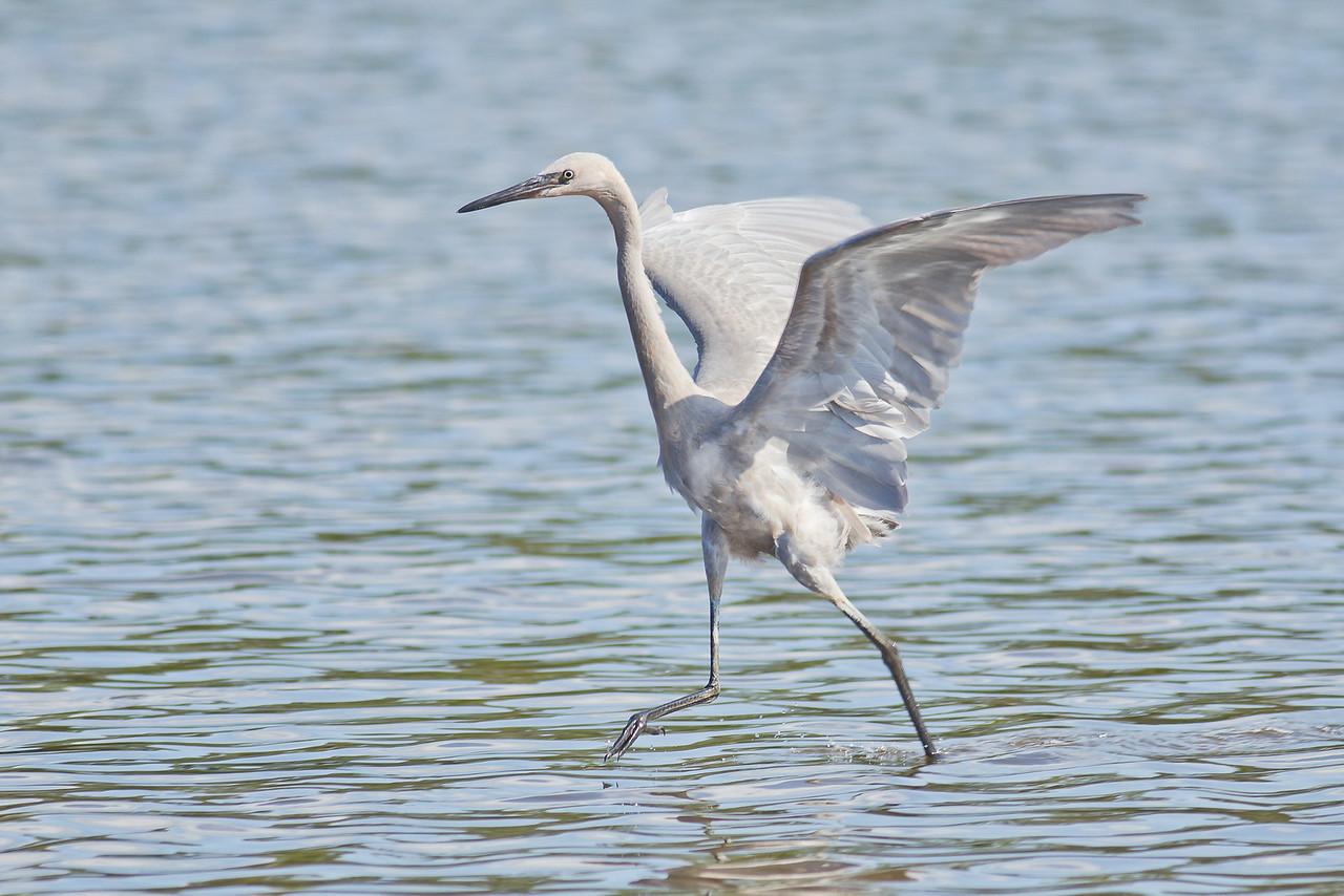 Reddish Egret (White Morph) Fishing - St. Marks NWR, Florida