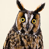 "Long-eared Owl ""My What Big Ears You Have"""