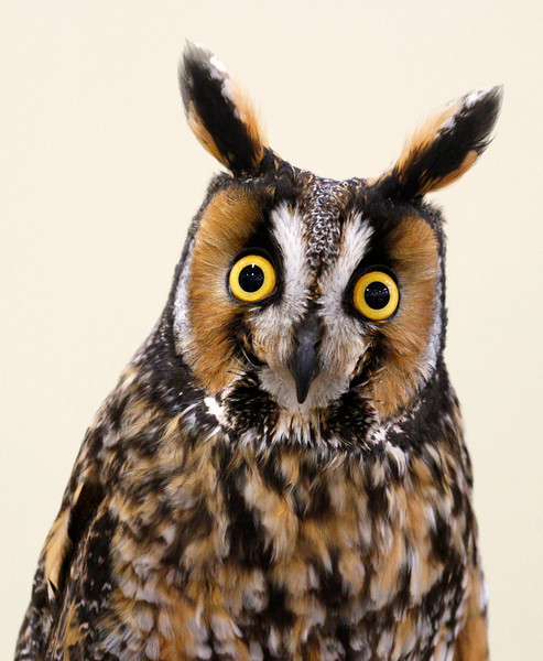"""Long-eared Owl """"My What Big Ears You Have"""""""