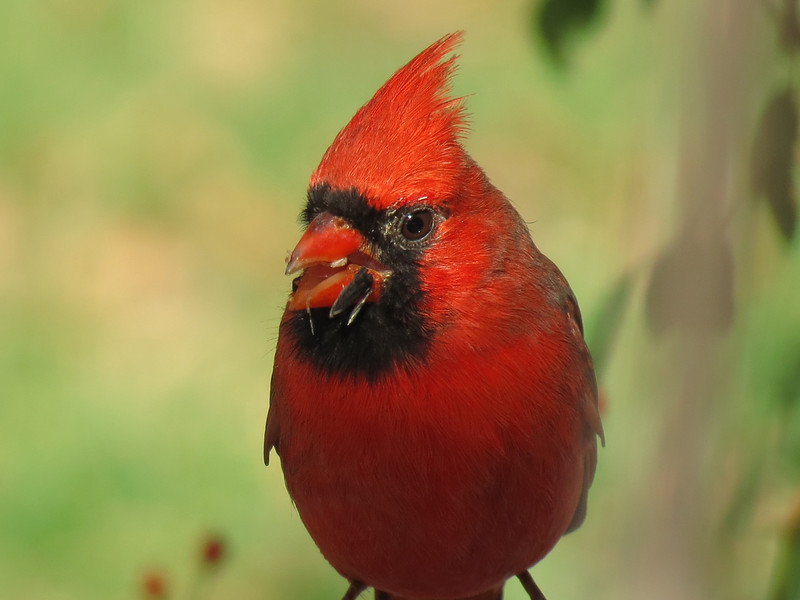 Bright red Cardinal eating sunflower seeds.