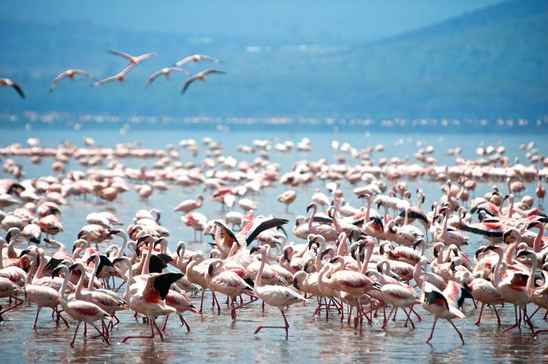 Lesser Flamingo (Phoeniconaias minor)<br /> Lake Nakuru National Park, Kenya<br /> IUCN Status: Near Threatened (trend: decreasing)