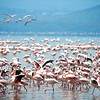 Lesser Flamingo (Phoeniconaias minor)<br /> Lake Nakuru National Park, Kenya<br /> IUCN Status: Near Threatened (trend: decreasing)