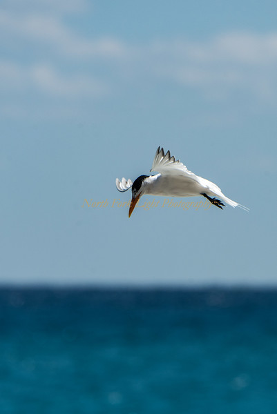 This tern hovers over the water before it dives to capture a meal.