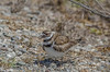 Kildeer on eggs at Coulsa #5-2