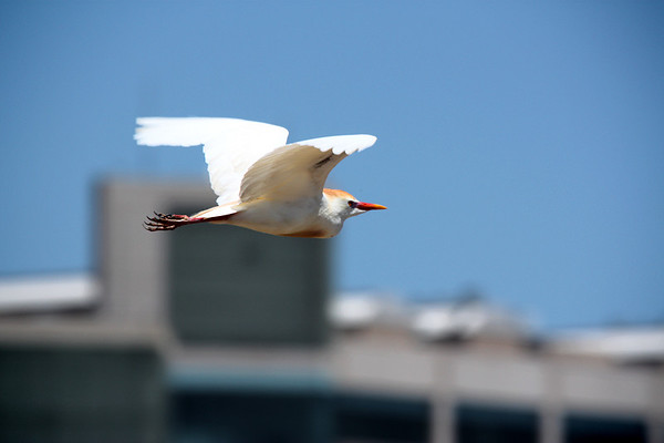 A cattle egret (Bubulcus ibis) in flight (2009_05_17_019619)