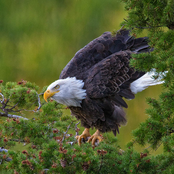 Bald Eagle, Snake River, Idaho