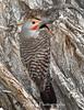 Male Flicker Woodpecker