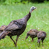 Turkey Family 1