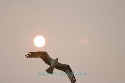 Osprey and Filtered Sun, Dunedin, FL