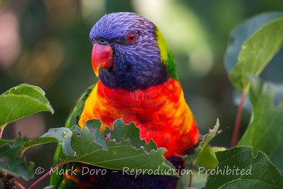 Rainbow Lorikeet, Williamstown, Victoria