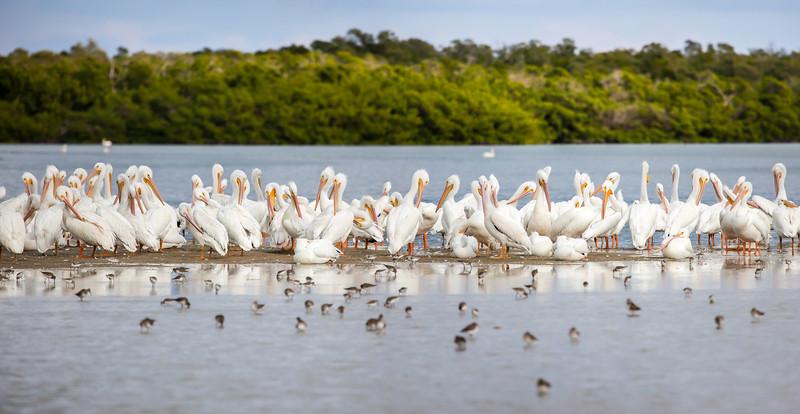White Pelican Pano