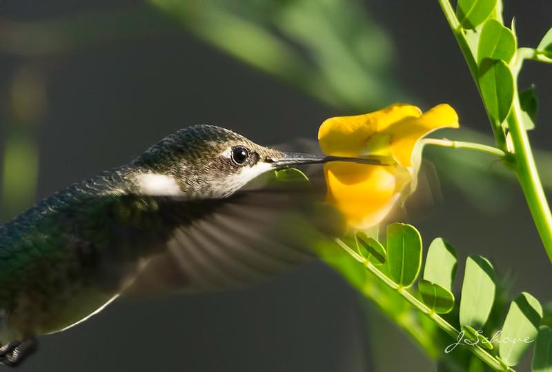 IMAGE: http://jschove.smugmug.com/Nature/Birds/i-LqKWkTN/0/L/Hummingbird_4733-L.jpg
