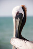 A sly look from a brown pelican, Kure Beach Pier, North Carolina