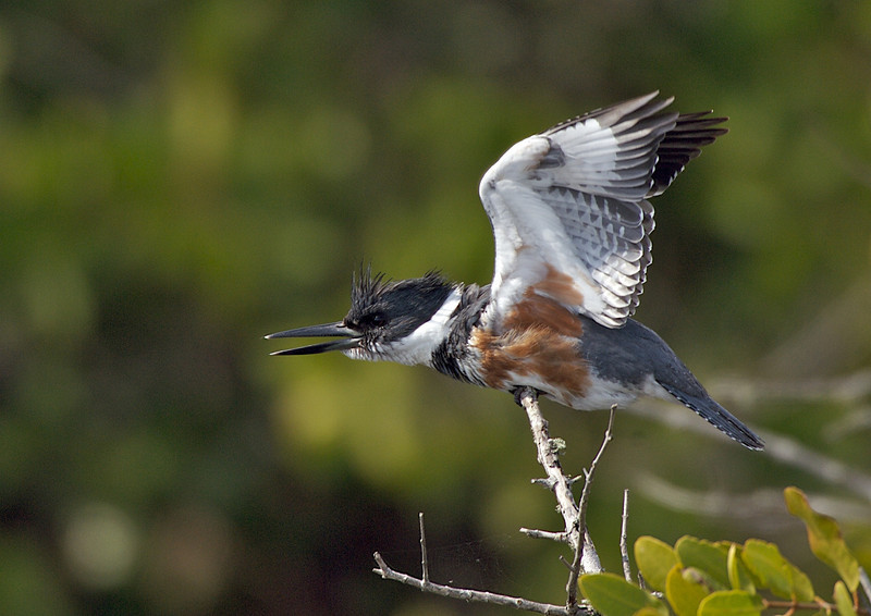 Belted Kingfisher, Merritt Island National Wildlife Refuge, Florida