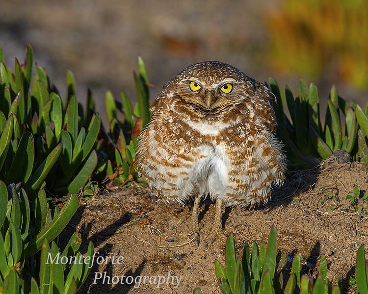 Burrowing Owl Athene cunicularia