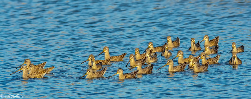 Dowitchers at Schollenberger 1-2011 #3