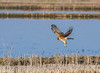 Northern Harrier in flight at Klamath 10-07 #2