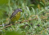 Kirtland's Warbler - May 12, 2012