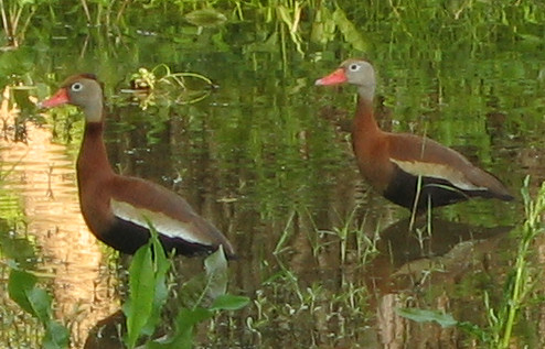 Two black-bellied whistling-ducks (Dendrocygna autumnalis) in early morning light (187_8733)