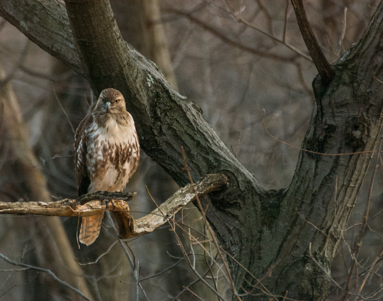 Red Tail Hawk in Wait