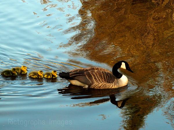 Mother Goose With Her Family