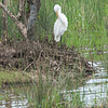 Great Egret_
