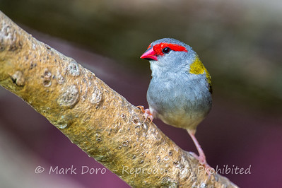 Red-browed Finch, Tea Gardens, New South Wales