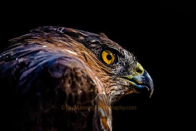 Profile of a Cooper's Hawk