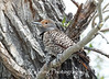 Female Flicker woodpecker