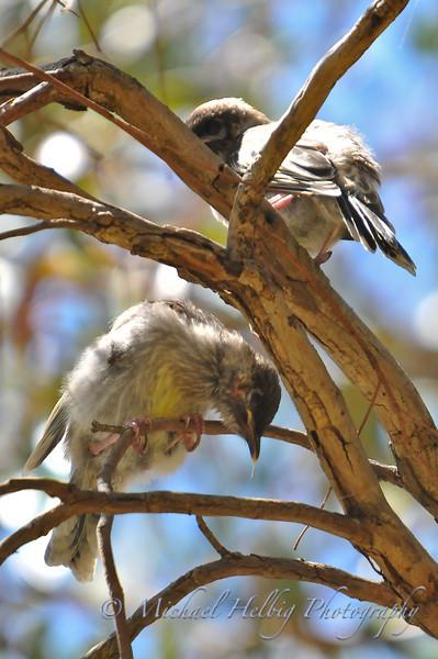 Baby Wattle Birds
