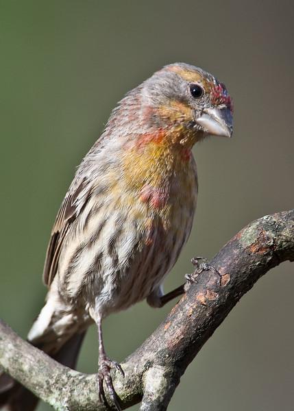 House Finch yellow morph