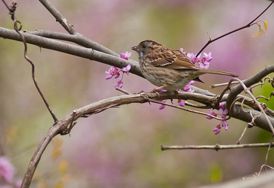 I found out that they eat the flowers of the blooming red bud trees. Here observed with this sparrow.