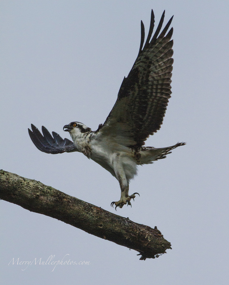 Osprey (learning to fish)