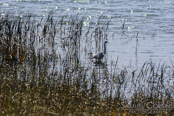An egret in Back Cove.