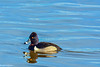 Ring-necked Duck Male at Colusa #2 2-2012