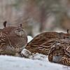 quail girls