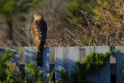 Cooper's Hawk (female)