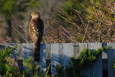 Cooper's Hawk (female)