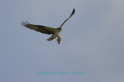 Osprey with Fish, Honeymoon Island State Park, FL