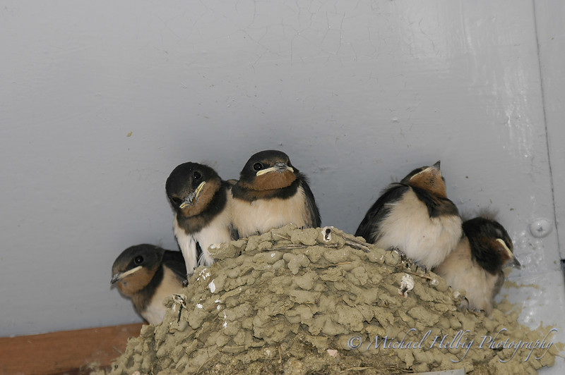Baby Swallows - Hiroshima
