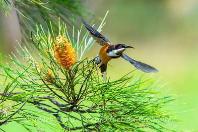 Eastern Spinebill takes flight from a Banksia, Tea Gardens, New South Wales