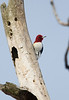 Redhead Woodpecker - January 2008 - Oak Openings Metropark