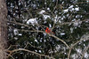 Some how cardinals seem to go with trees with snow on them.