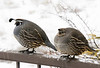 Mr. and Mrs. Rail Quail